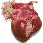 Dirofilaria immitis en el corazon cestodo transmitido por mosquitos