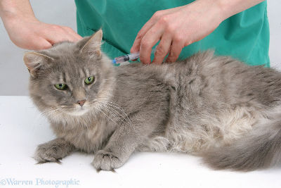 leucemia gato