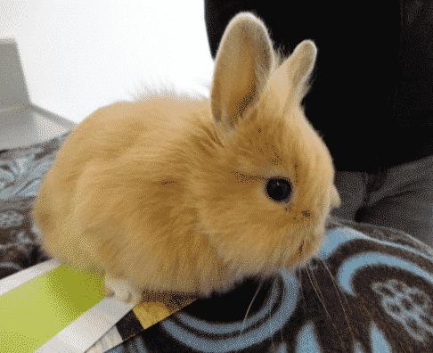 El conejo enano