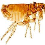 Pulga Ctenocephalides felismod