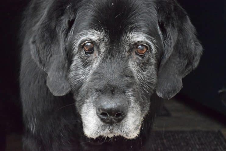 Cuidados de salud para perros mayores