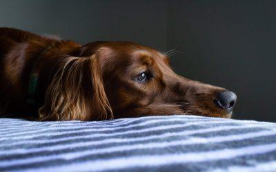 ¿Cómo tratar la gastroenteritis en perros?