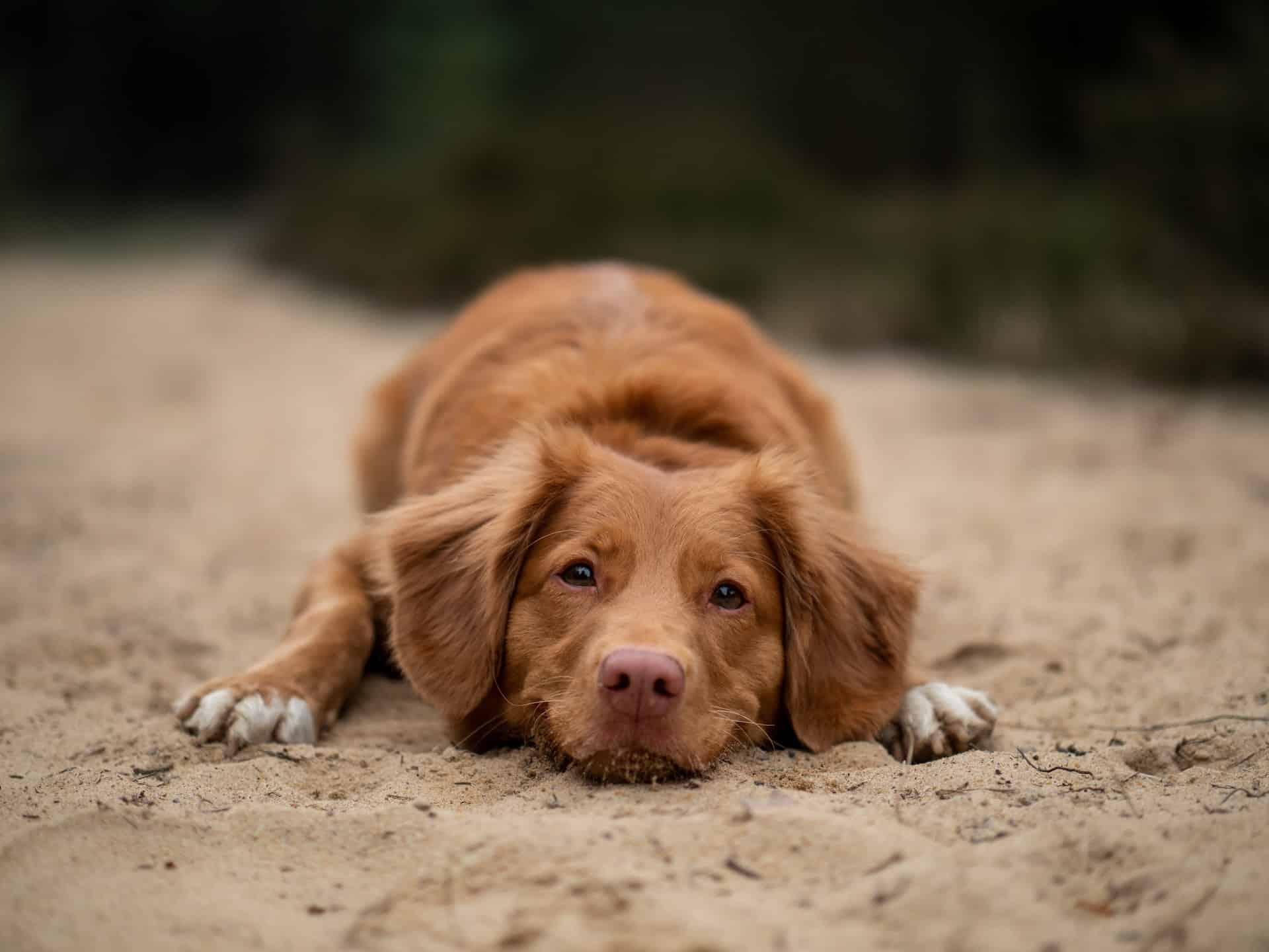desparasitación en perros
