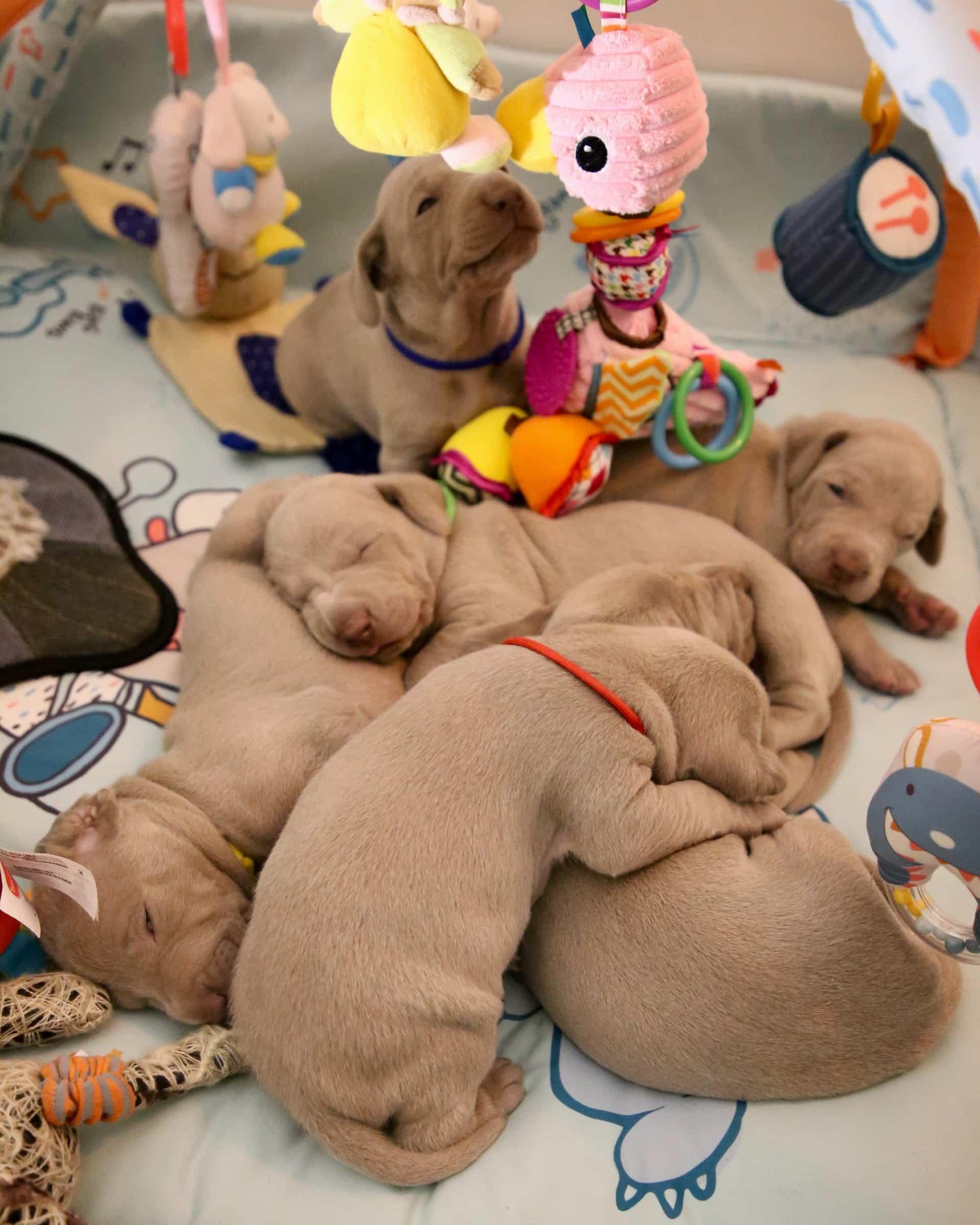 Prevención integral (VACUNACIÓN Y DESPARASITACIÓN): Cachorros