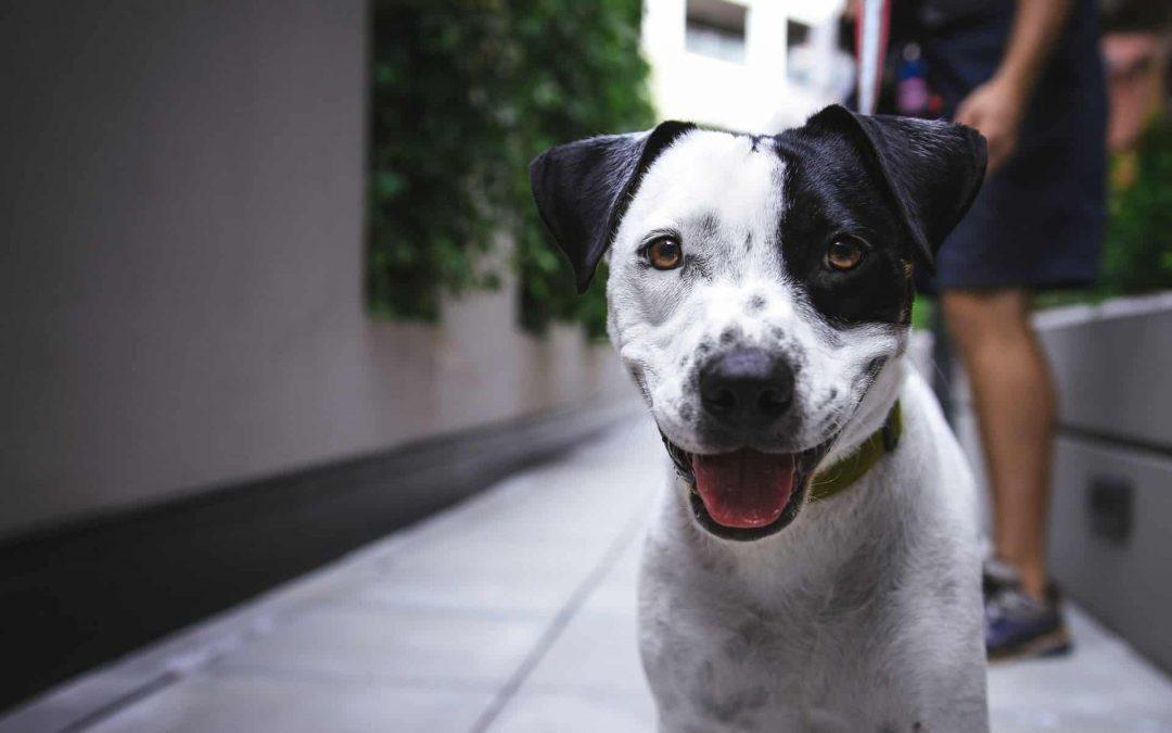 Protege a tu perro contra la Leishmaniosis