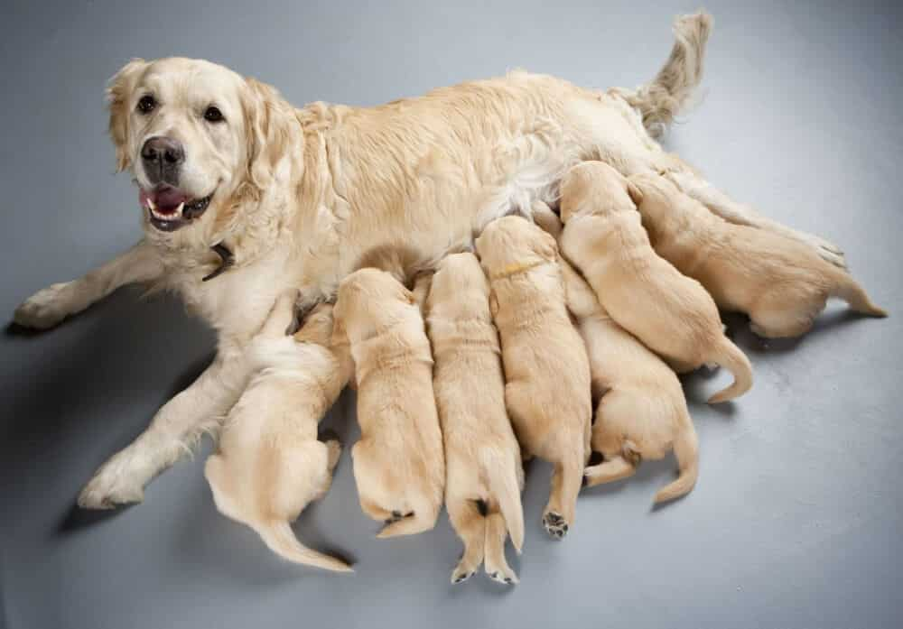 extracción de sangre en perros