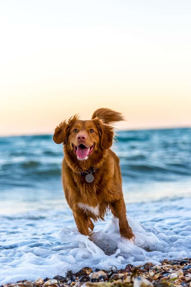 perro corriendo recuperado tras rehabilitación y fisioterapia